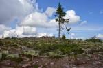 Старый Тикко, самое старое дерево в мире