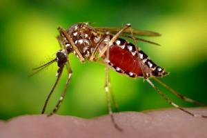 Переносчик вируса Зика комар Aedes aegypti (комар желтолихорадочный)