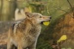 Финляндия выдала квоту на отстрел 20% популяции волков