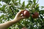 Шведский город собирается потратить почти 1 млн долларов на спасение яблони