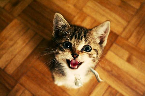 Мяукающий котенок