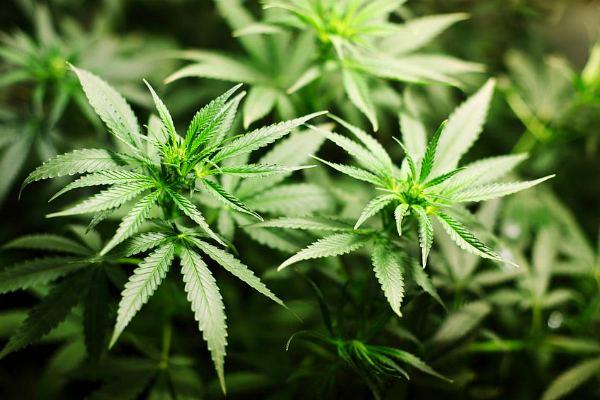 Конопля, сырье для марихуаны