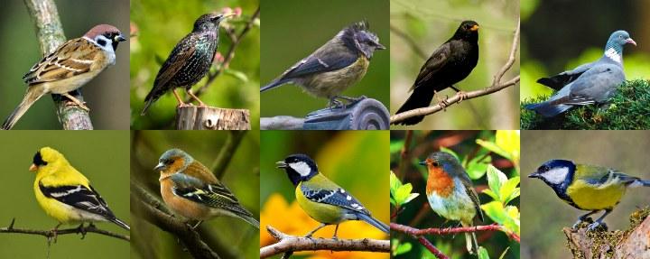 Садовые птицы Великобритании