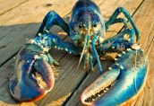 США и Канада отвергли призыв Швеции запретить экспорт омаров