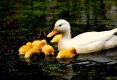 На севере Дании обнаружен птичий грипп